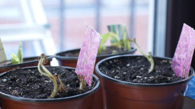 Гортензия из семян в домашних условиях
