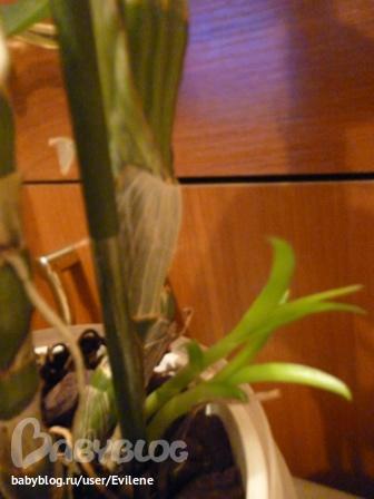 как орхидея пускает отросток фото