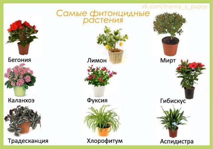 Очищающие воздух комнатные цветы