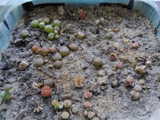 литопсы из семян