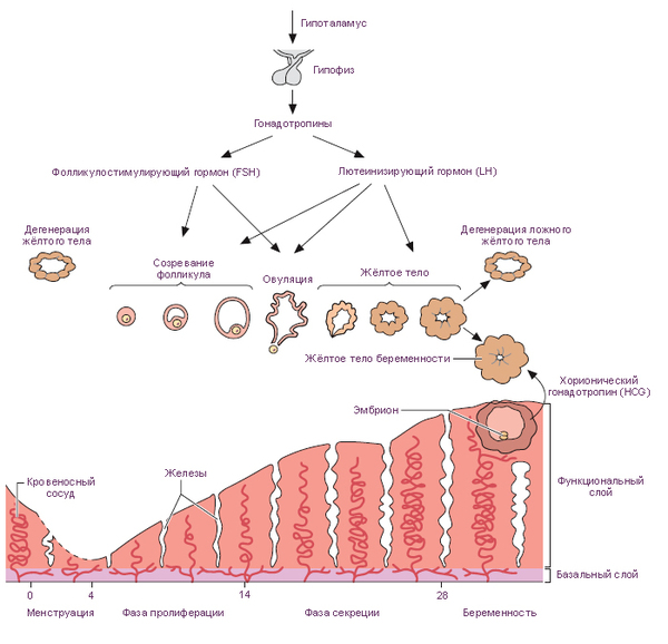 эндометрий по дням цикла: