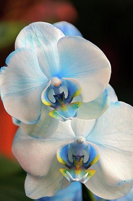Голубая орхидея гей видео фото 530-181