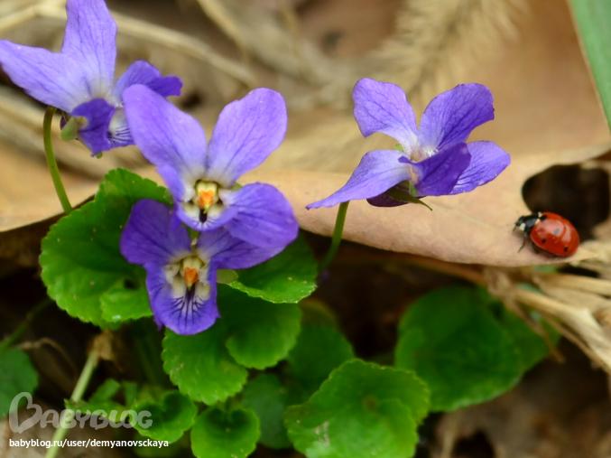 сонные цветы фото