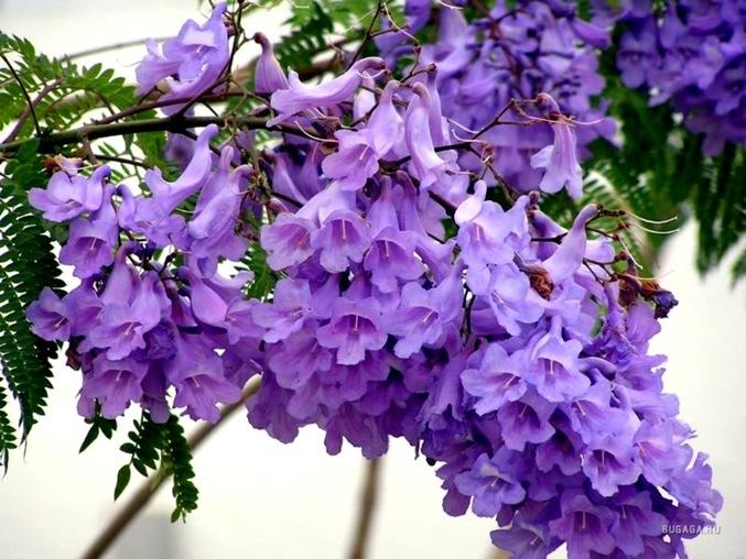 Jacaranda mimosifolia - Wikipedia