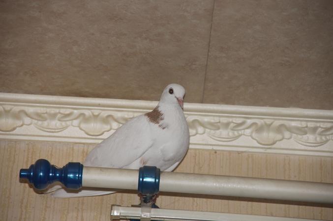 Голубь залетел в дом, чего ожидать? - к чему залетает голубь.