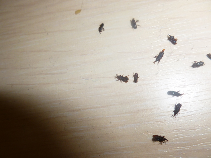 Черные жучки в квартире фото